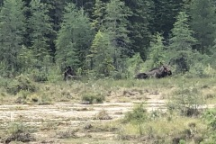 Two moose laying in the marsh