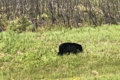 Another black bear