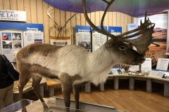 Caribou  at Inuvik Visitor's center