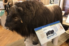 Muskox at Inuvik Visitor's center