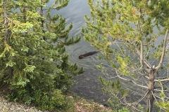 Beaver in lake